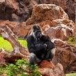 Gorilla monkey in park at Tenerife Canary — Stock fotografie