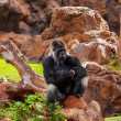 Gorilla monkey in park at Tenerife Canary — Stok fotoğraf