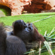 Gorilla monkey in park at Tenerife Canary - Stock Photo