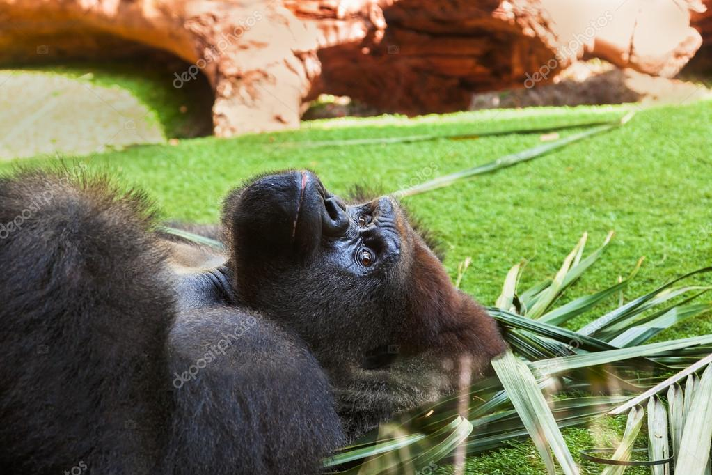 Gorilla monkey in park at Tenerife Canary - animal background — Стоковая фотография #18704487