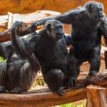 singes dans le parc à Canaries tenerife — Photo