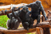 Monkeys in park at Tenerife Canary — Stock Photo
