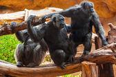 Monkeys in park at Tenerife Canary — Stock Photo