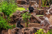 Gorilla monkey in park at Tenerife Canary — Stock Photo