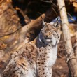 Lynx in park — Stock Photo