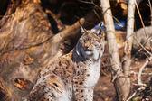 Lynx in park — Stock Photo