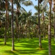 Palms at Tenerife - Canary islands — Stok fotoğraf