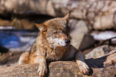 Wolf in park — Stock Photo