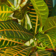 Leaves of croton tree Codiaeum — Stock Photo #51633659