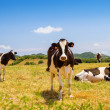 Black and white cows grazing in the farmland at Menorca, Spain. — Stock Photo