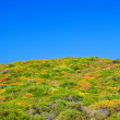 Colorful dwarf shrub of Menorca island — Stock Photo