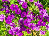 Surfinia Keipabukas purple flower buds. — Stock Photo