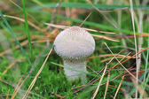 Amanita mushroom — Stock Photo