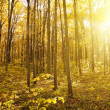 Panorama of  forest at autumn day  — Stock Photo