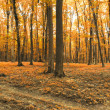 Panorama of autumn orange forest — Stock Photo