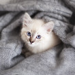 Siberian kitten — Stock Photo #22364889