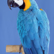 Macaw parrot — Stock Photo #29933543
