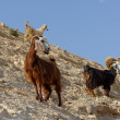 Herd of goats on rocky hillside in the desert in Wadi Qelt near Jericho — Stock Photo