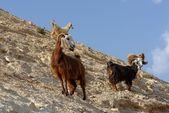 群山羊在 wadi qelt 杰里科附近的沙漠中的岩石山坡上 — 图库照片