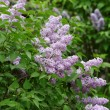 Delicate pink lilac flowers on the bushes — Stock Photo
