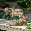 Two gray wolves in a zoo — Stock Photo #37679095