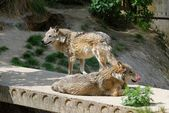 Two gray wolves in a zoo — Stock Photo