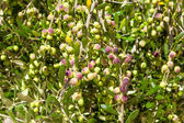 The branches of an olive tree — Stock Photo