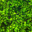 Ficus foliage — Stock Photo