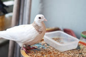 A white dove sitting on the balcony — Stock Photo