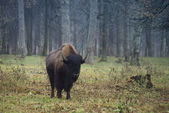 Bison in the nursery — Stock Photo