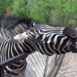 Zebra from the Zoo — Stock Photo