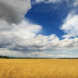 Stock Photo: Yellow field and blue sky