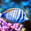 Royalty-Free Stock Photo: Tropical Fish
