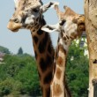 Giraffe couple - Stock Photo