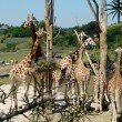 Family of Giraffes - Stock Photo