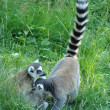 Two ring-tailed funny lemurs — Stock Photo
