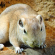 Stock Photo: Gerbil