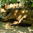 Stock Photo: Sleeping Bat-eared Fox