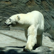 Polar bear — Stock Photo #16053407