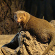 Mongoose - Stock Photo
