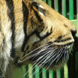 Tiger looking sadly out from cage - Stock Photo