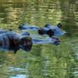 Two hippopotamuses observing from water - Stock Photo
