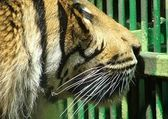 Tiger looking sadly out from cage — Stock Photo