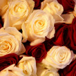 Bed of red and white Roses - Stock Photo
