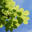 Close up of green chestnut leaves, brightly backlit against a blue sky — Stock Photo
