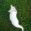 Adorable white kitten meows in the grass — Stock Photo