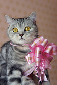 Beautiful british tabby kitten with a pink bow — Стоковое фото