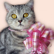 Beautiful british tabby kitten with a pink bow — Stock Photo