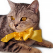 Beautiful british tabby kitten with bow — Stock Photo