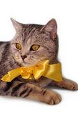 Beautiful british tabby kitten with bow — Stock Photo